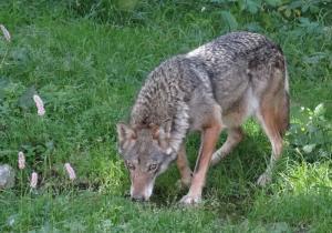Retour du loup en Wallonie - Une vidéo du Service Public de Wallonie (SPW)